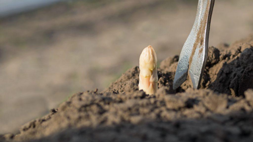 Weißer Spargel wächst vollständig unter der Erde, weshalb er sich nicht verfärbt